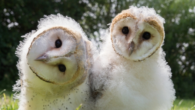 PICTURE SHOWS: Luna and Lily's best funny faces.  Barn Owl chicks.